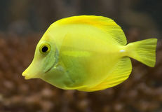 Yellow tang 3 Stock Images