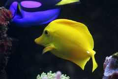 Yellow Tang. A yellow tang in a saltwater aquarium royalty free stock images