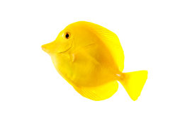 Yellow Tang royalty free stock images