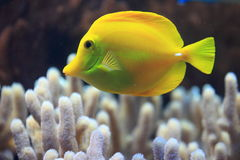 Yellow tang. The adult yellow tang in water stock photo