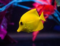 Yellow Tang in Captive Reef Aquarium. Bright yellow tang, Zebrasoma flavescens, reef fish swimming in front of a background of artificial plants in a captive royalty free stock images