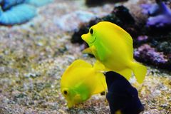 Yellow tang fish. Zebrasoma flavescens Stock Image