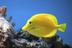 Yellow tang fish. Yellow tang ornamental fish in aquarium blue background Royalty Free Stock Image