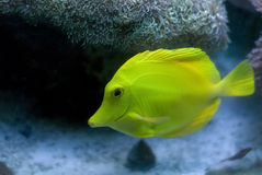 Yellow Tang Fish. A yellow tang fish swimming near the bottom of the aquarium Royalty Free Stock Image