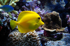 Yellow Tang Fish. Yellow Tangs will spend their day picking at rockwork and occasionally sand in search for hair algae to eat. This is the Hawaiian fish Royalty Free Stock Photography