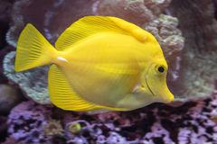 A Yellow Tang Fish Stock Photo