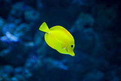 Yellow tang fish Royalty Free Stock Image