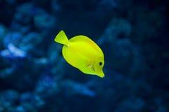 Yellow tang fish. Close up of the yellow tang fish royalty free stock image