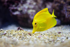 Yellow tang fish. Close up shot of yellow tang fish Royalty Free Stock Photography
