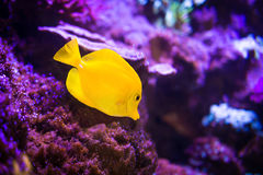 Yellow tang fish on purple reef background Stock Images
