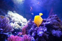 Yellow tang fish in shallow coral reefs eat from live rocks. Yellow tang fish in shallow coral reefs search for food in live rocks - yellow tang is herbivore and stock photography