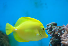 Yellow tang fish Royalty Free Stock Photos