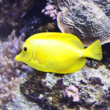 Yellow Tang Fish Stock Photos