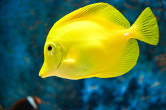 Yellow tang. Tang fish. Yellow tropical aquarium fish royalty free stock photography