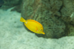 Yellow tang fish, Zebrasoma flavenscens Royalty Free Stock Images