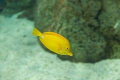 Yellow tang fish, Zebrasoma flavenscens Royalty Free Stock Images