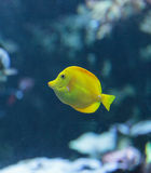 Yellow tang fish, Zebrasoma flavenscens Royalty Free Stock Image
