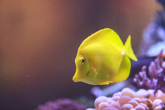 Yellow tang fish, Zebrasoma flavenscens Royalty Free Stock Photo