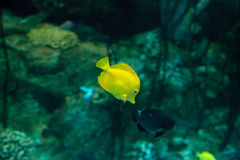 Yellow tang fish, Zebrasoma flavenscens Stock Photography