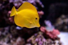 Yellow tang fish, Zebrasoma flavenscens Royalty Free Stock Photo