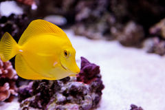 Yellow tang fish, Zebrasoma flavenscens Stock Image