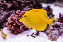 Yellow tang fish, Zebrasoma flavenscens. Is a saltwater aquarium fish that is found in the Pacific and Indian Oceans in the wild royalty free stock photography