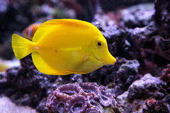 Yellow tang fish, Zebrasoma flavenscens. Is a saltwater aquarium fish that is found in the Pacific and Indian Oceans in the wild royalty free stock photo