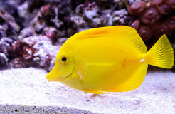 Yellow tang fish, Zebrasoma flavenscens. Is a saltwater aquarium fish that is found in the Pacific and Indian Oceans in the wild royalty free stock images