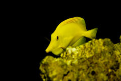 Yellow Tang fish - Zebrasoma flavescens Royalty Free Stock Image