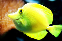 Yellow Tang fish (Zebrasoma flavescens) Royalty Free Stock Photos