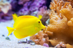 Yellow tang fish Zebrasoma flavesenes. On artificial reef stock photos