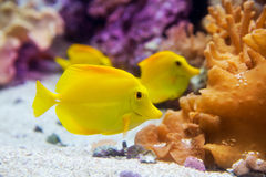 Yellow tang fish Zebrasoma flavesenes. On artificial reef stock image