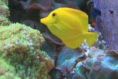 Yellow tang Royalty Free Stock Image
