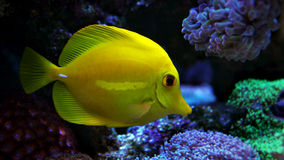 Yellow tang in marine tank Royalty Free Stock Photography