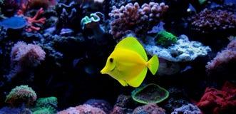 Yellow tang in marine tank Stock Photos