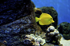 Yellow Tang on the reef stock image