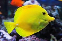 Yellow Tang saltwater fish. In aquarium stock images