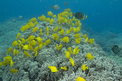 Yellow Tang School Stock Photo