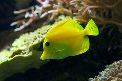 Yellow tang swimming down through coral reef Royalty Free Stock Images