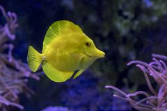 Yellow Tang Tropical Fish. A colorful Yellow Tang tropical fish swims in a salt water fish tank Royalty Free Stock Image