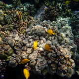 Yellow Tang Tropical Fish Swimming on Hawaiian Reef. Five yellow tang, a type of tropical fish, swim around a reef in Hawaii Stock Photos