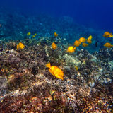 Yellow Tang Tropical Fish Swimming on Hawaiian Reef. Many yellow tang, a type of tropical fish, swim around a reef in Hawaii Royalty Free Stock Image