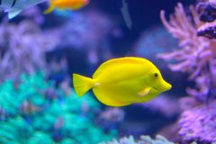 Yellow tang tropical fish Zebrasoma flavescens royalty free stock images