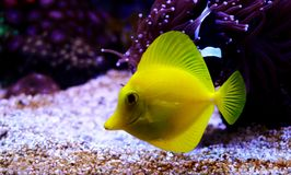 The yellow Hawaiian tang - Zebrasoma flavescens. The yellow tang was first described by English naturalist Edward Turner Bennett as Acanthurus flavescens in 1828 stock images