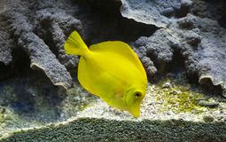 Yellow tang & x28;Zebrasoma Flavescens& x29; Royalty Free Stock Photography