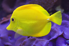 Yellow tang (Zebramosa). Swims over Actinodiscus mushrooms on a coral reef Royalty Free Stock Photography