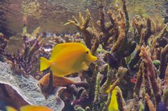 Yellow Tang (Zebrasoma flavescens). The yellow tang (Zebrasoma flavescens) is a saltwater fish species of the family Acanthuridae (surgeonfish family Stock Photo
