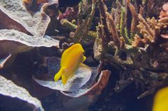 The Yellow Tang (Zebrasoma flavescens). Is a saltwater fish species of the family Acanthuridae (surgeonfish family Stock Image