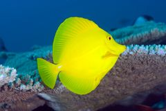 Yellow tang (Zebrasoma flavescens) Royalty Free Stock Photo