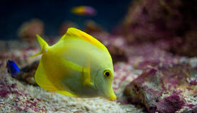A Yellow Tang Stock Images